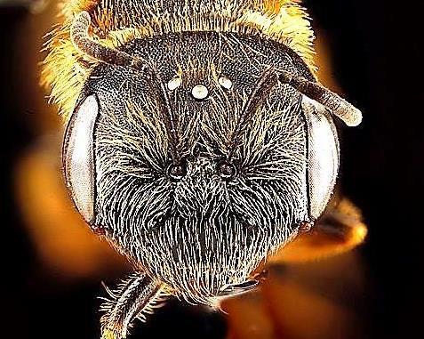 Ocelli on a sweat bee's head (Halictus poeyi)