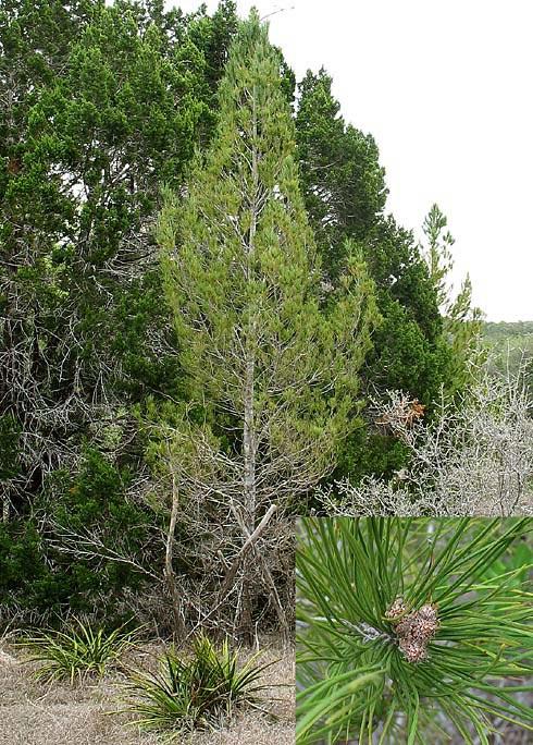 Afghan pine tree photos pinus eldarica afghan pine