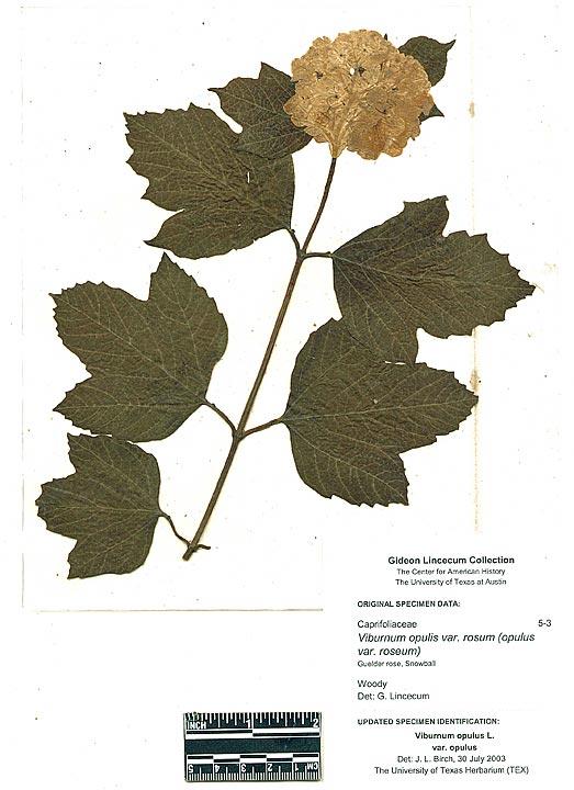 Viburnum Opulis