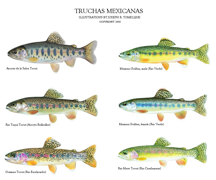 Truchas mexicanas for Mexico fishing license